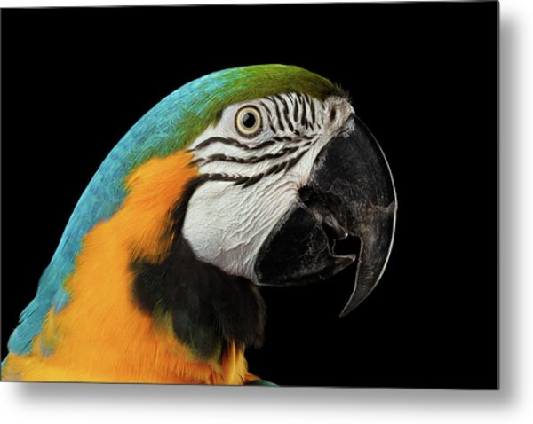 Closeup Portrait Of A Blue And Yellow Macaw Parrot Face Isolated On Black Background Metal Print