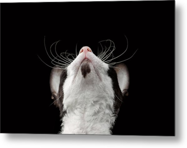 Closeup Portrait Of Cornish Rex Looking Up Isolated On Black  Metal Print