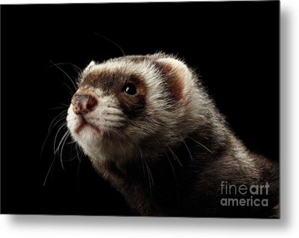 Closeup Portrait Of Funny Ferret Looking At The Camera Isolated On Black Background, Front View Metal Print