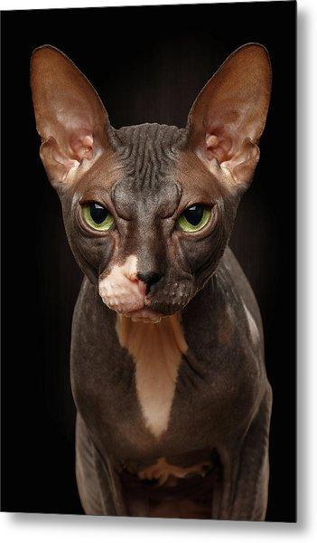 Closeup Portrait Of Grumpy Sphynx Cat Front View On Black  Metal Print