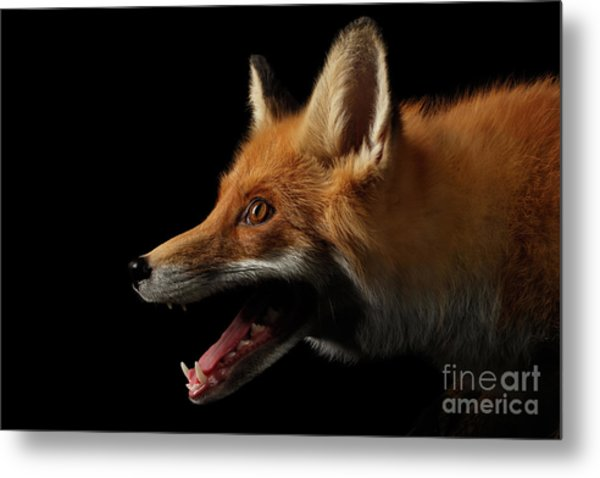 Closeup Portrait Of Red Fox In Profile Isolated On Black  Metal Print
