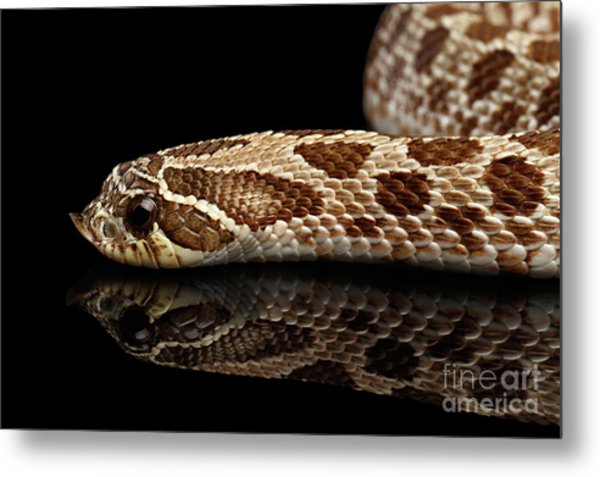 Closeup Western Hognose Snake, Isolated On Black Background Metal Print
