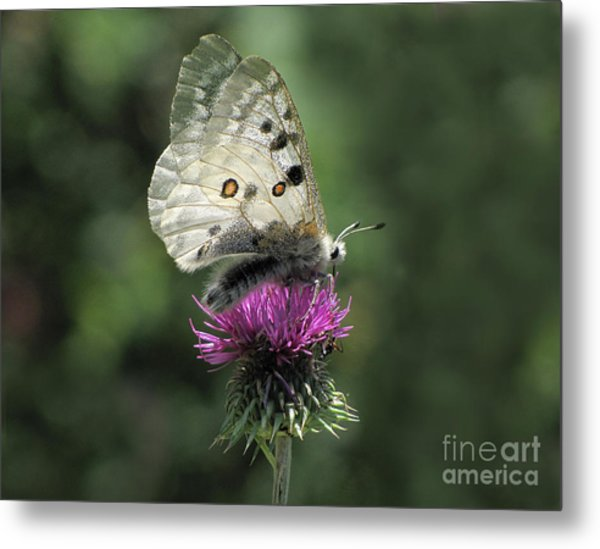 Clouded Apollo Butterfly Metal Print