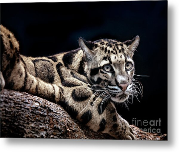 Clouded Leopard Metal Print