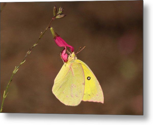 Clouded Sulphur Butterfly On Pink Wildflower Metal Print