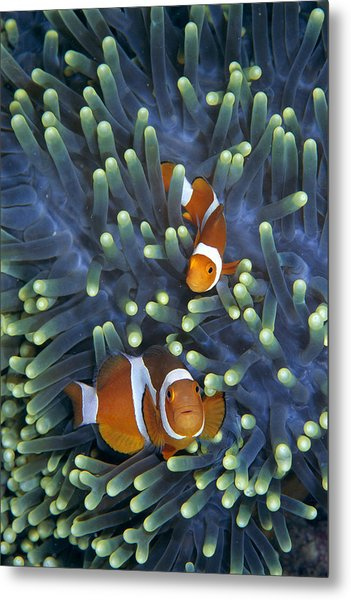 Clown Anemonefish Amphiprion Ocellaris Metal Print