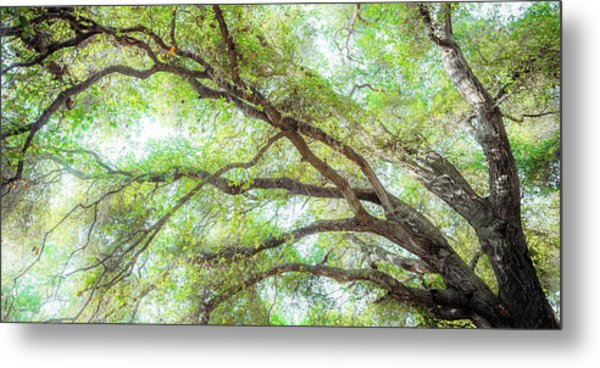 Coast Live Oak Branches Metal Print