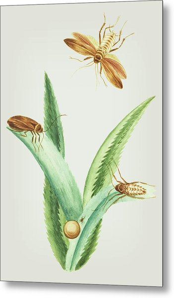 Cockroaches With An Egg On Ananas Leaves By Cornelis Markee 1763 Metal Print
