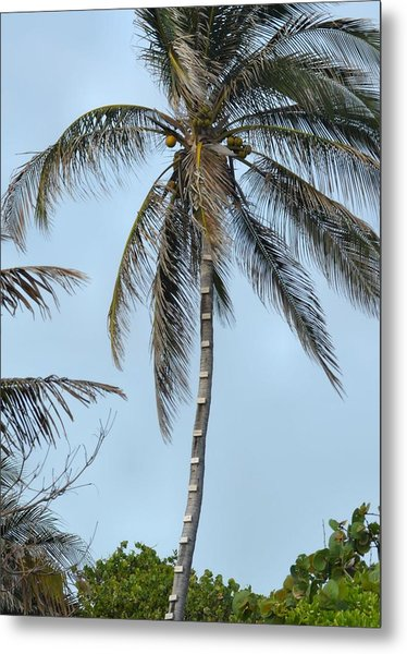 Coconut Collecting Metal Print by JAMART Photography