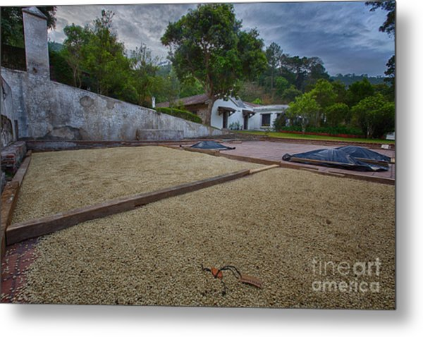 Coffe Production Metal Print
