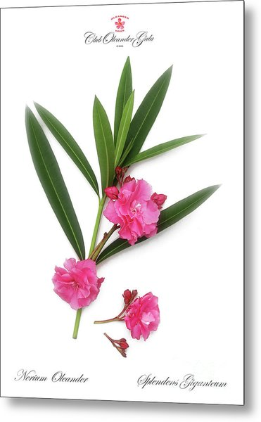 Cog  Nerium Oleander Splendens Giganteum Metal Print