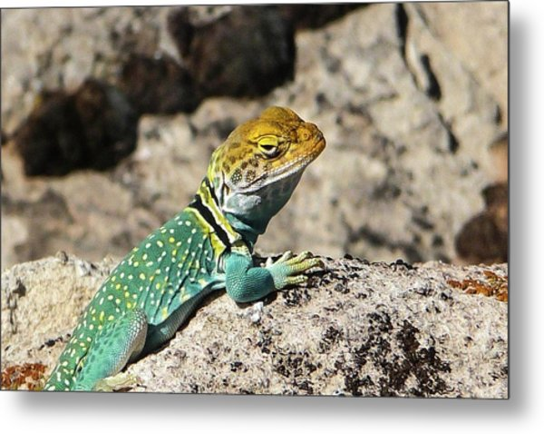 Collared Lizard Metal Print