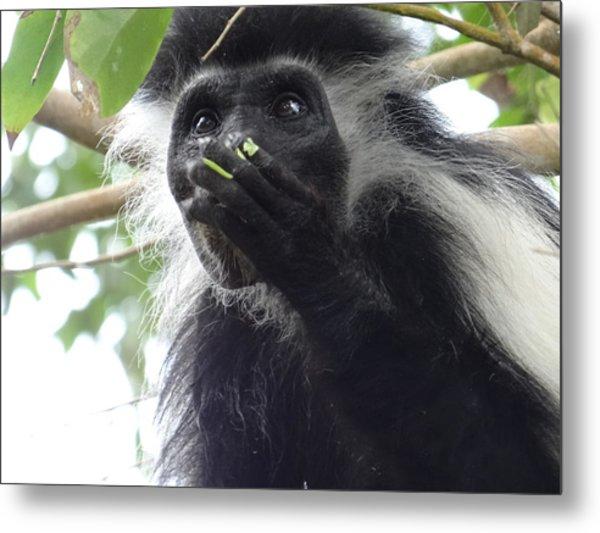 Colobus Monkey Eating Leaves In A Tree 2 Metal Print