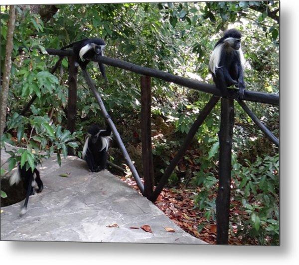 Colobus Monkeys At Sands Chale Island Metal Print