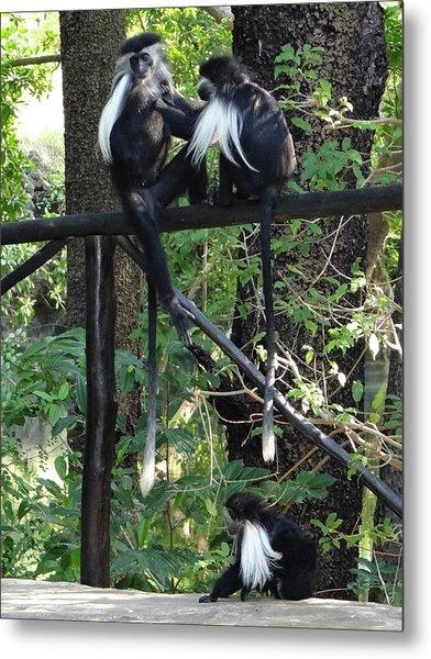 Colobus Monkeys Picking Fleas Metal Print