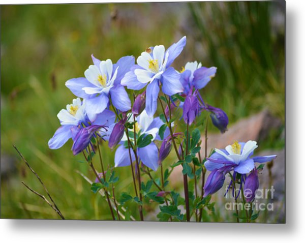 Metal Print featuring the photograph Colorado Columbines by Kate Avery