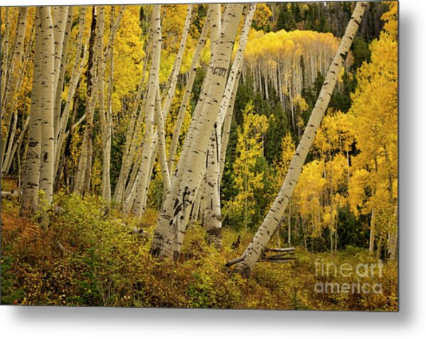 Colorado Fall Aspen Grove Metal Print