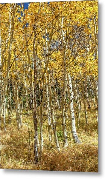 Colorado Gold Metal Print