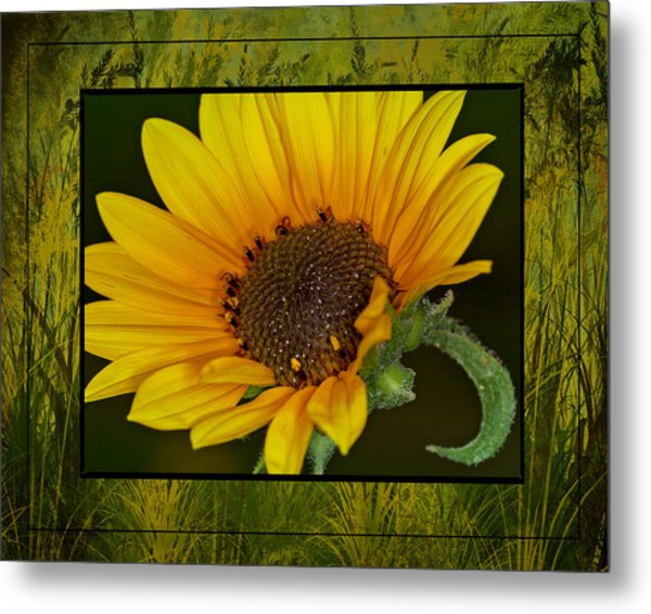 Colorado Sunflower Metal Print