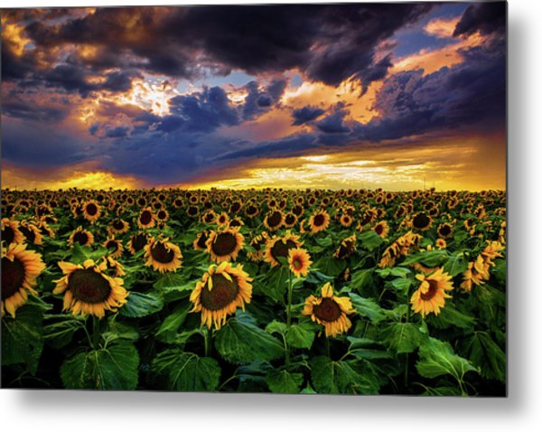 Colorado Sunflowers At Sunset Metal Print