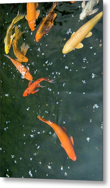 Colorful Fishes And Floating Petals Metal Print