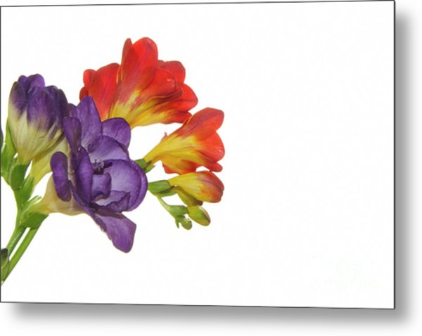 Colorful Freesias Metal Print