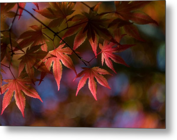 Colorful Japanese Maple Metal Print