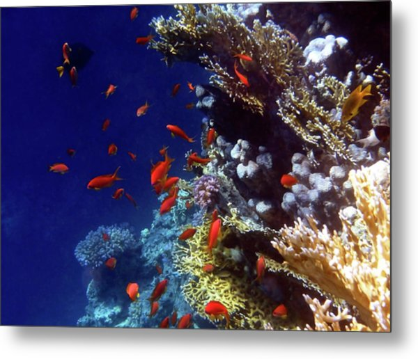 Colorful Lyretail Anthias Metal Print