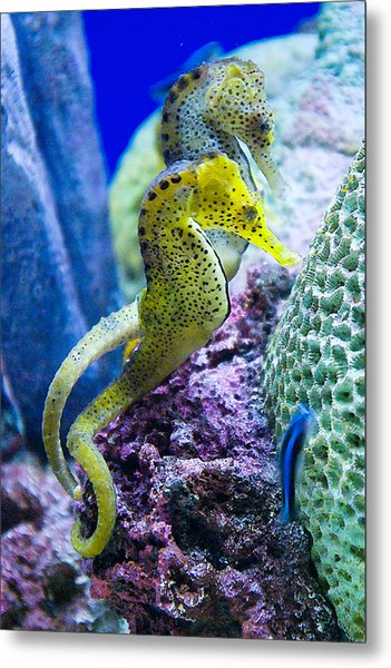 Colorful Seahorses Metal Print