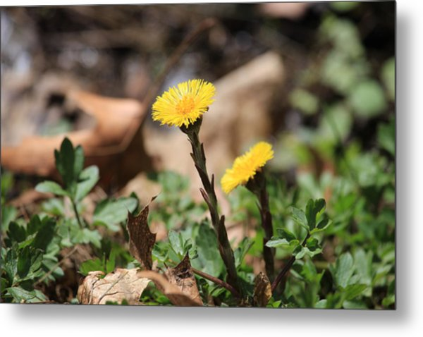 Coltsfoot Metal Print