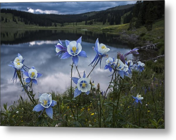 Columbine Blooms In The Rocky Mountains Metal Print