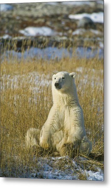 Comfortable Polar Bear Metal Print