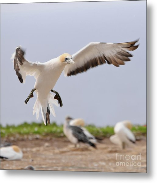 Coming In To Land Metal Print