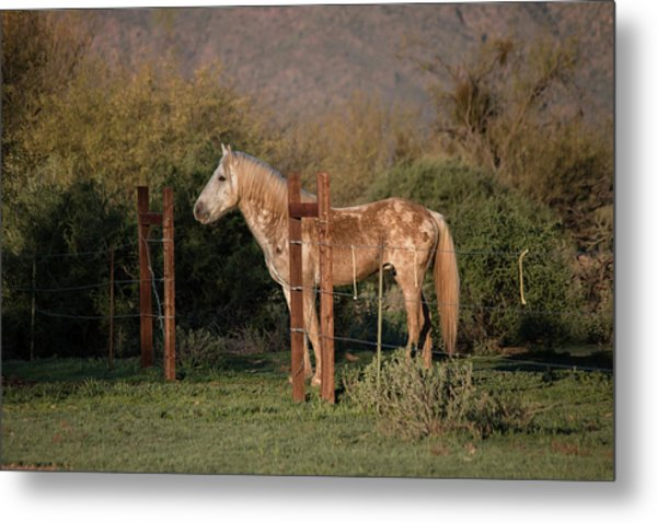 Coming Through The Fence Metal Print