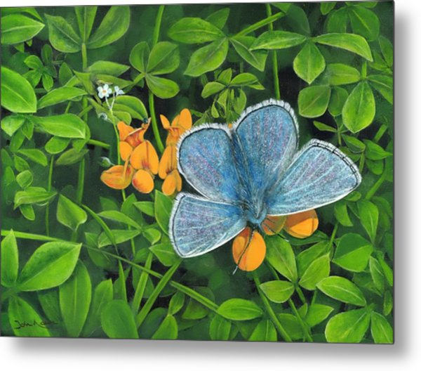 Common Blue On Bird's-foot Trefoil Metal Print