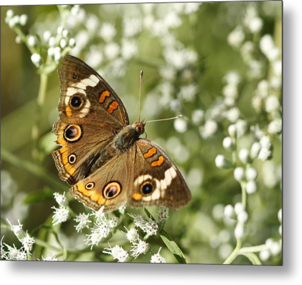 Common Buckeye Butterfly On White Thoroughwort Wildflowers Metal Print