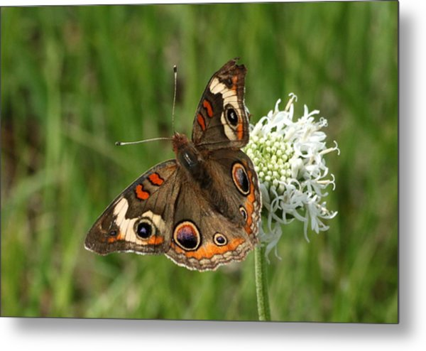 Common Buckeye Butterfly On Wildflower Metal Print