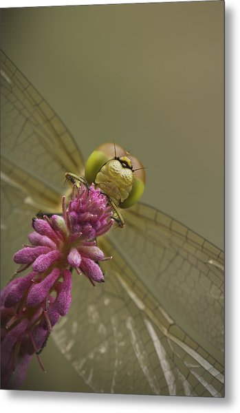 Common Darter Dragonfly Metal Print