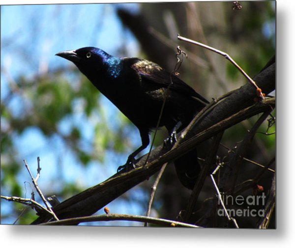 Common Grackle Metal Print by Deborah Johnson