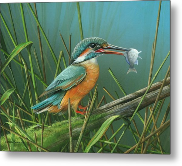 Common Kingfisher Metal Print
