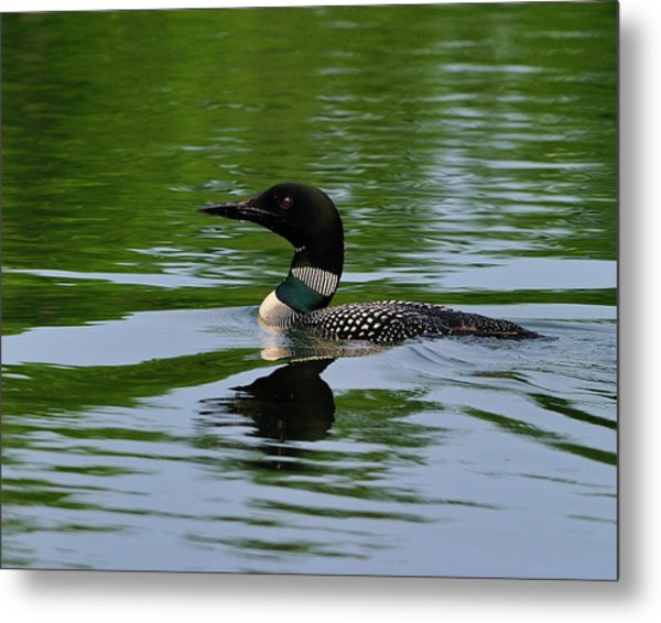 Common Loon Metal Print