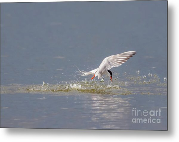 Common Tern - Sterna Hirundo - Emerging From The Water With A Fish Metal Print