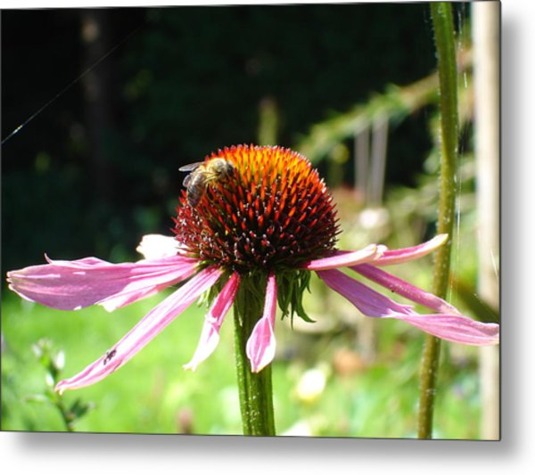 Cone Flower And Honey Bee Metal Print