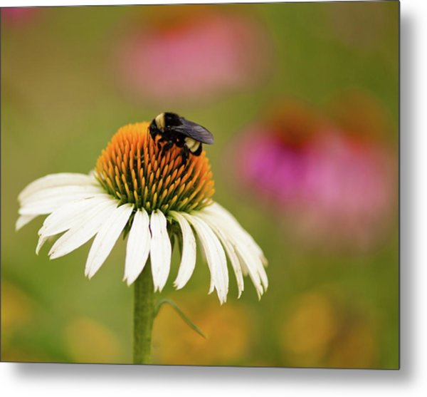 Coneflower And Bee Metal Print