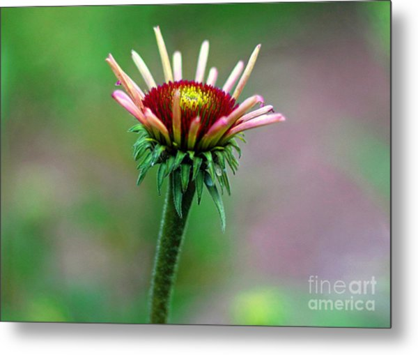 Coneflower Bloom Metal Print