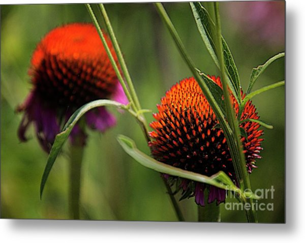 Coneflower Centers Metal Print by Jim Wright