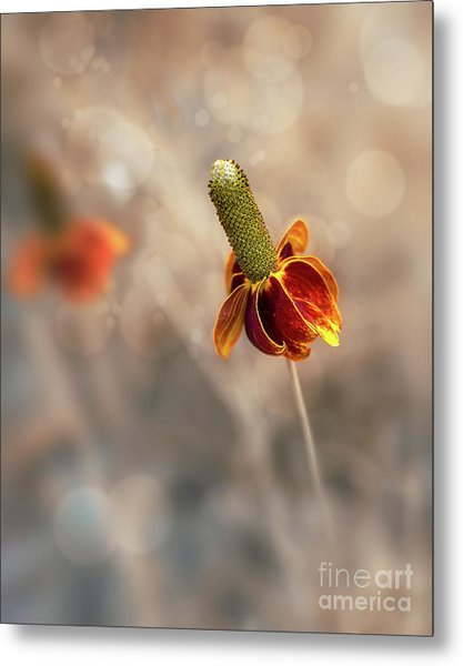 Mexican Hat Prairie Flower Metal Print