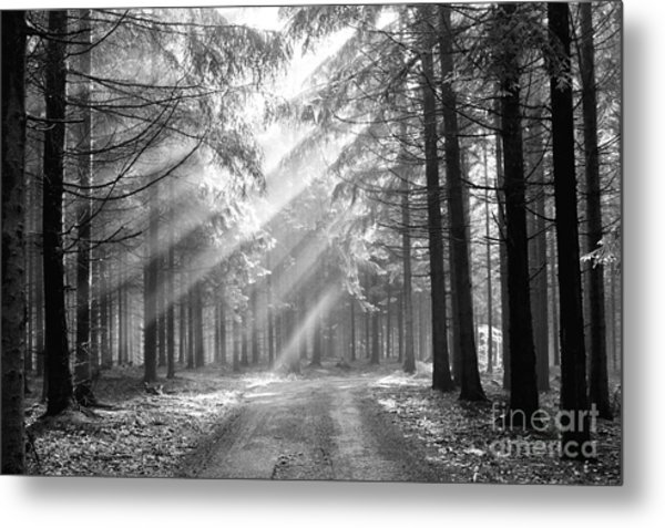 Conifer Forest In Fog Metal Print