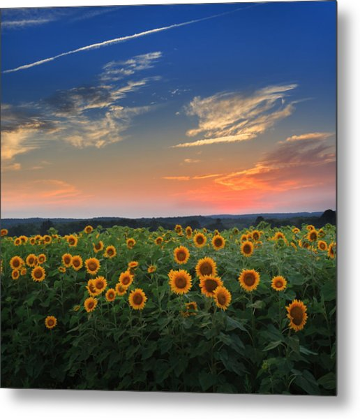 Connecticut Sunflowers In The Evening Metal Print