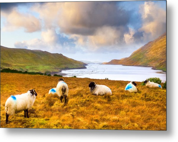 Connemara Sheep Grazing Over Killary Fjord Metal Print by Mark Tisdale